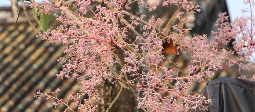 Sự tích và truyền thuyết hoa ngô đồng