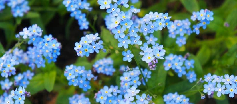 Những bài thơ hay về hoa lưu ly