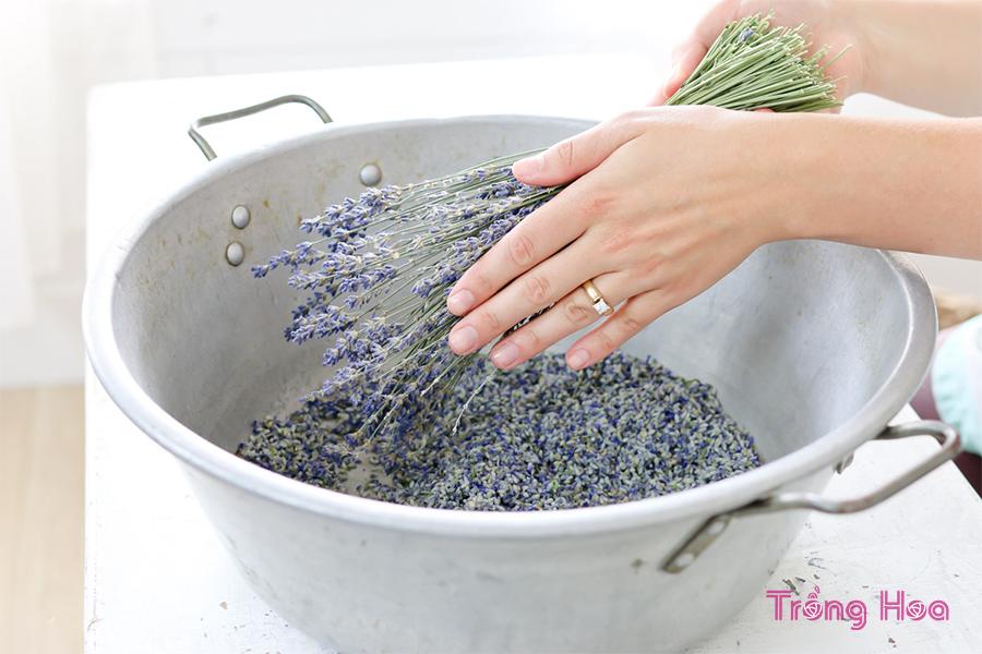 Cách tách nụ hoa oải hương khô