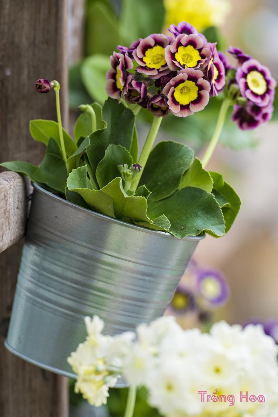 Hoa tai gấu- Primula auricula