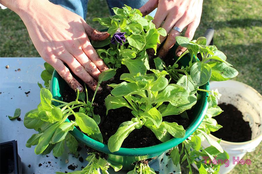 Cách trồng giỏ hoa treo chuyên nghiệp