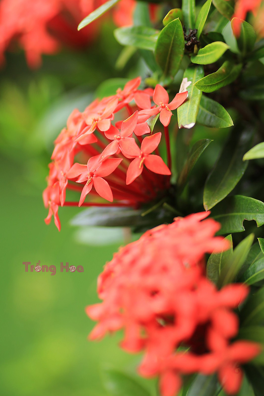 Thơ và truyện về hoa bông trang (Mẫu đơn ta)